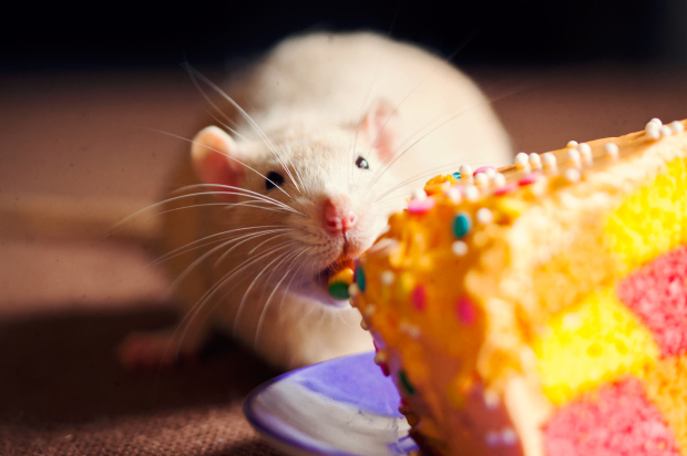 Orange rat eating a checkered cake with orange icing.